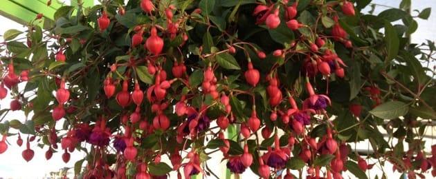 Lush Fushcia Plant