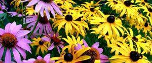 Perennials Flowers